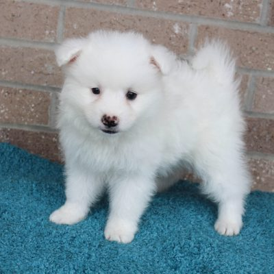 Icy - American Eskimo male pup for sale near Spencerville, Indiana