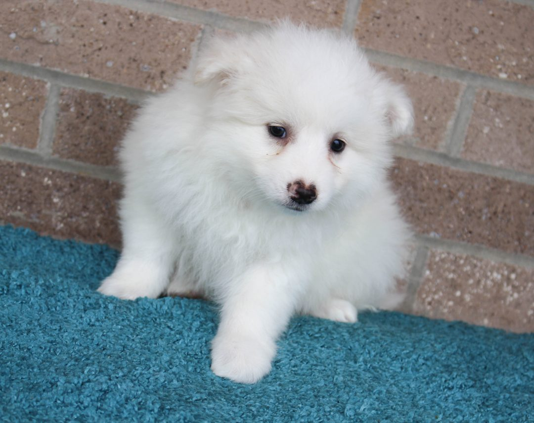 Dewey - American Eskimo male puppie for sale near Spencerville, Indiana