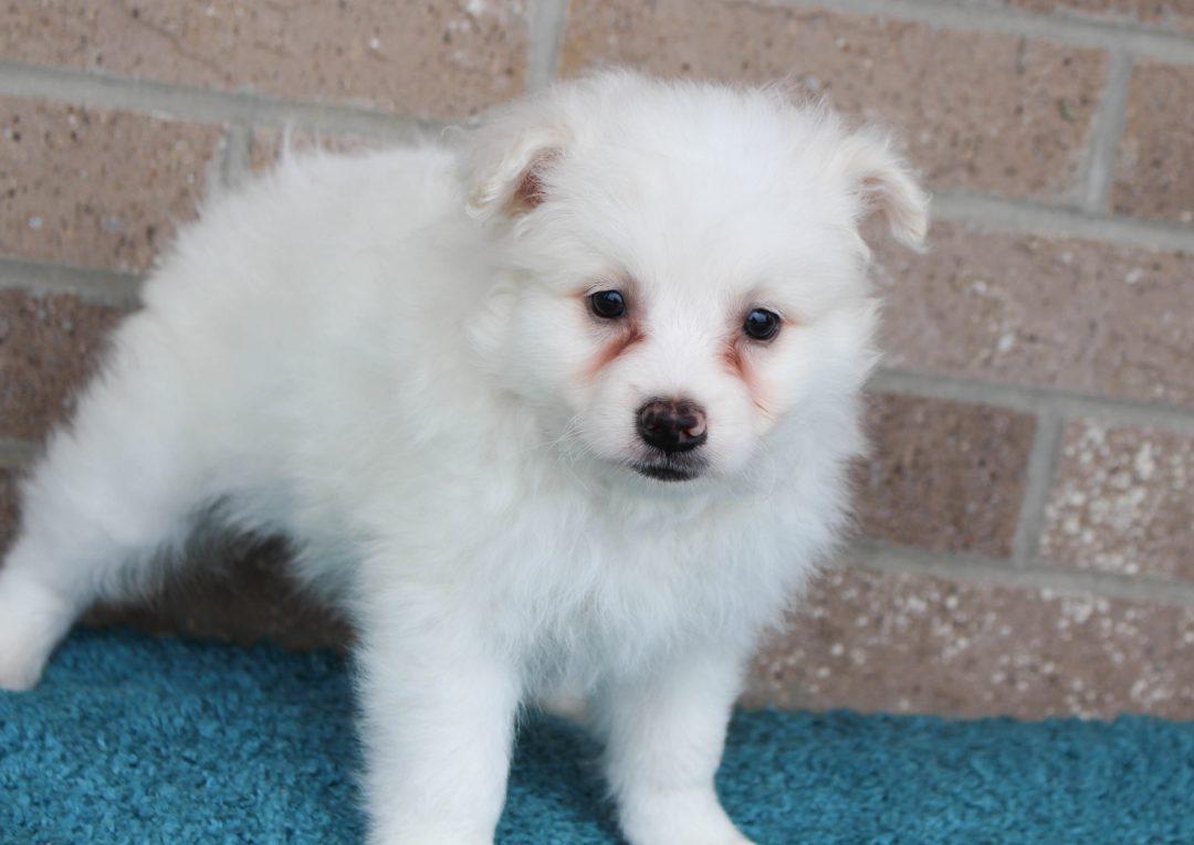 Winter - American Eskimo male doggie for sale in Spencerville, Indiana