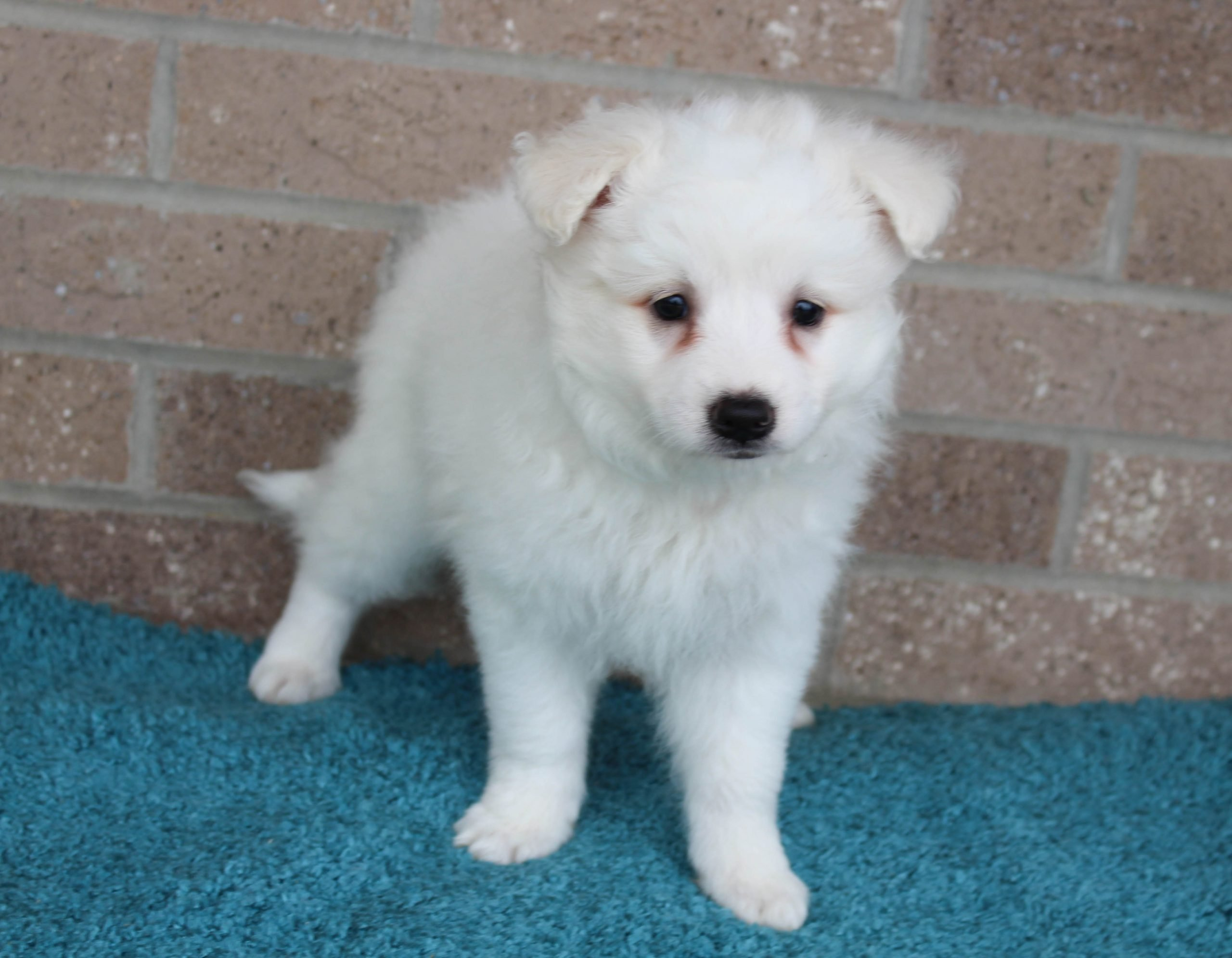 Frosty - puppy American Eskimo male for sale at Spencerville, Indiana