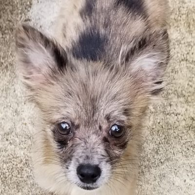 Chihuahua Pomeranian Pomchi puppy for sale at Selmer, Tennessee