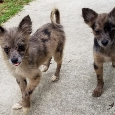 Chihuahua Pomeranian Pomchi puppies for sale at Selmer, Tennessee