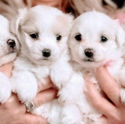 Maltese puppies AKC Registered