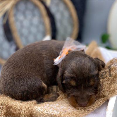 Leo - male AKC Miniature Dachshund doggie for sale at West Plains, Missouri