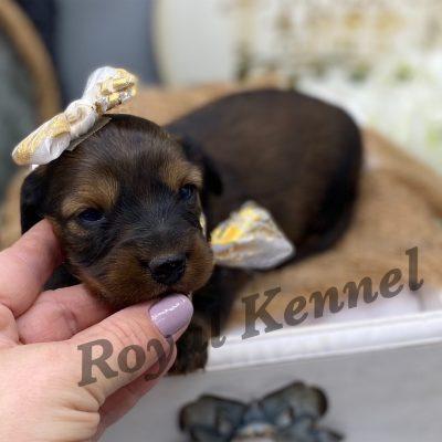 Lena - AKC Miniature Dachshund pup for sale at West Plains, Missouri