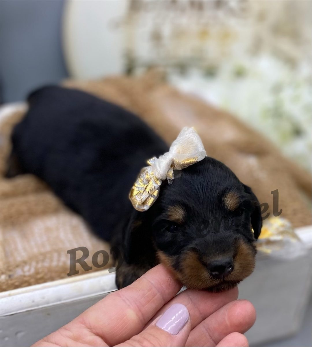 Lucy - AKC Miniature Dachshund pupper for sale near West Plains, Missouri