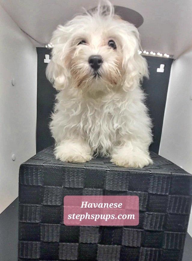 Precious - doggie Havanese for sale at Katy, Texas
