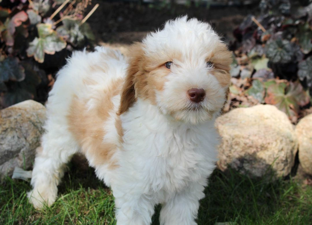Jackson - pup Goldendoodle for sale near Grabill, Indiana