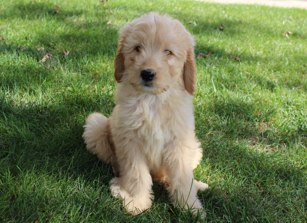 Oscar - puppie Goldendoodle male for sale near Grabill, Indiana