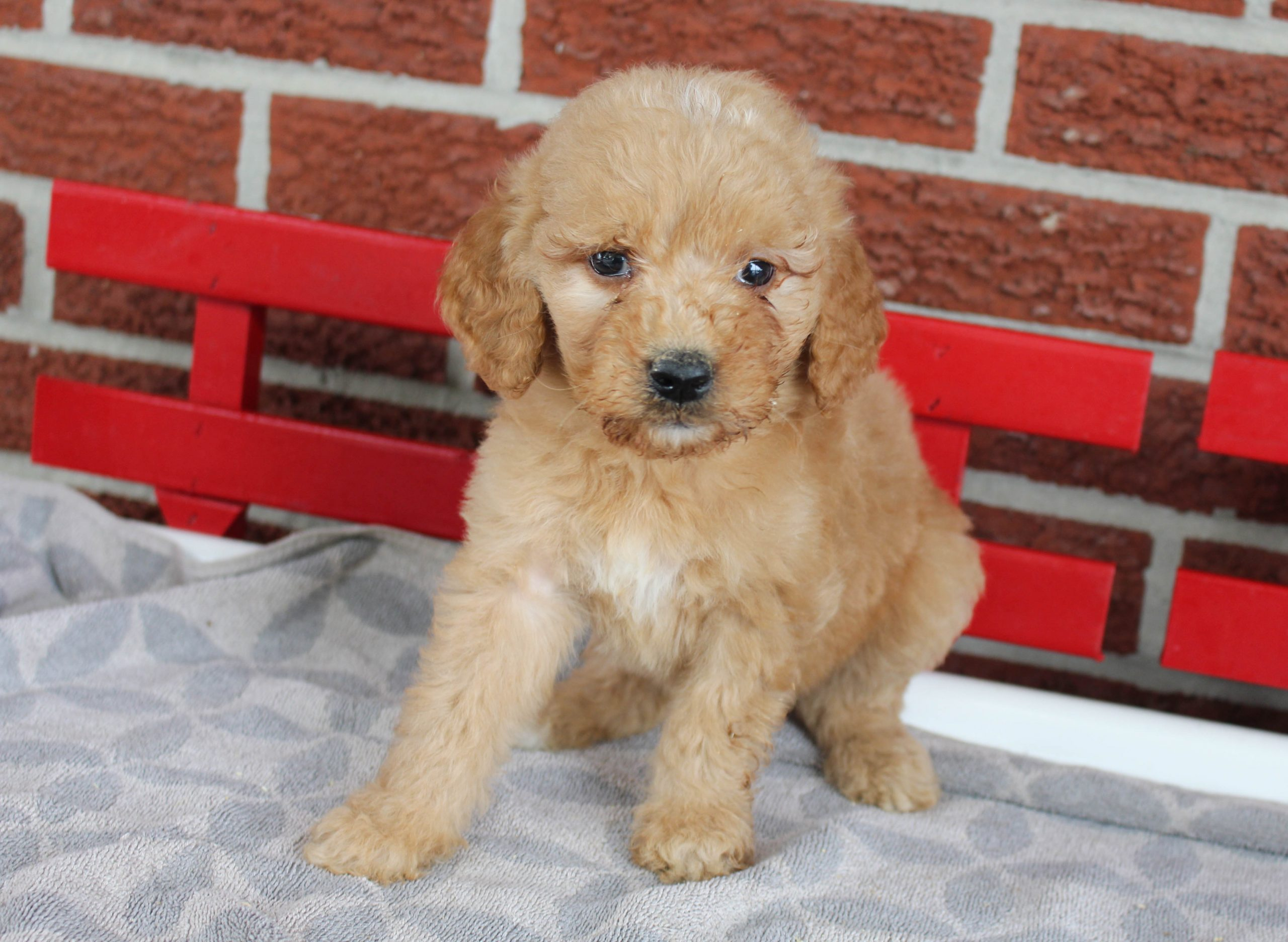 Presley - F1 Goldendoodle female doggie for sale in Grabill, Indiana