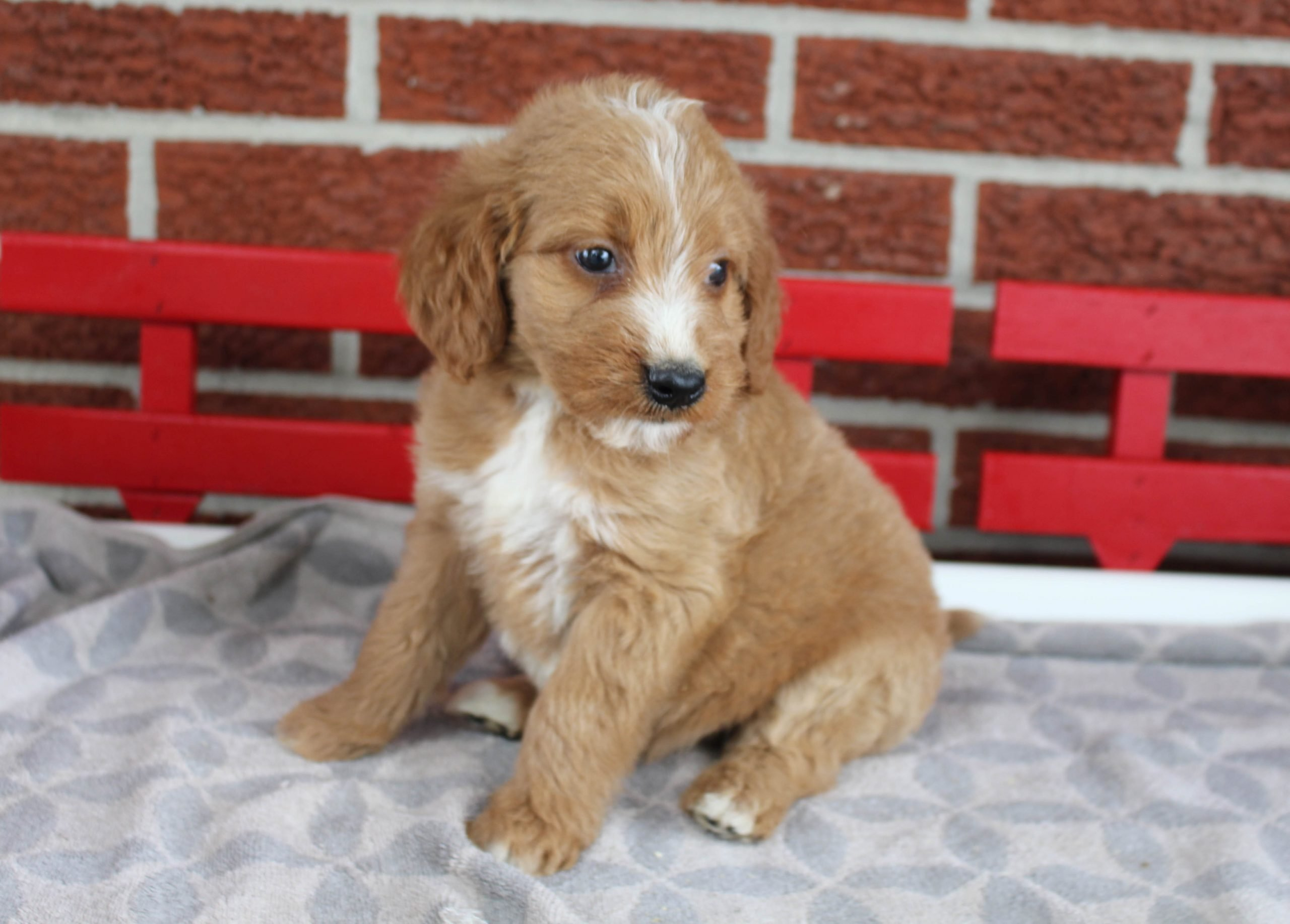 Cleo - puppy F1 Goldendoodle female for sale at Grabill, Indiana