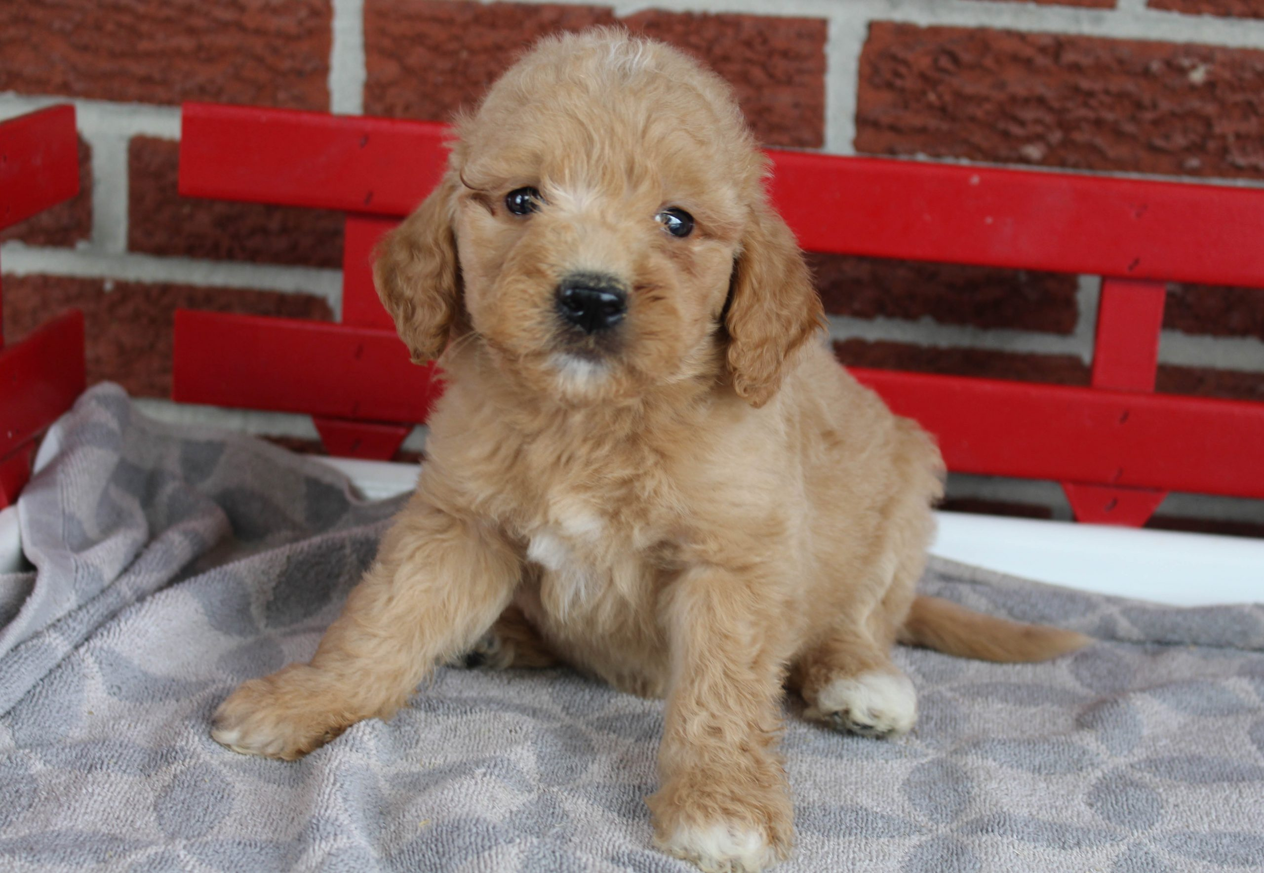 Layla - F1 Goldendoodle female for sale near Grabill, Indiana
