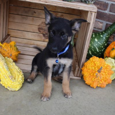 Dodger - German Shepherd male puppy for sale in Grabill, Indiana