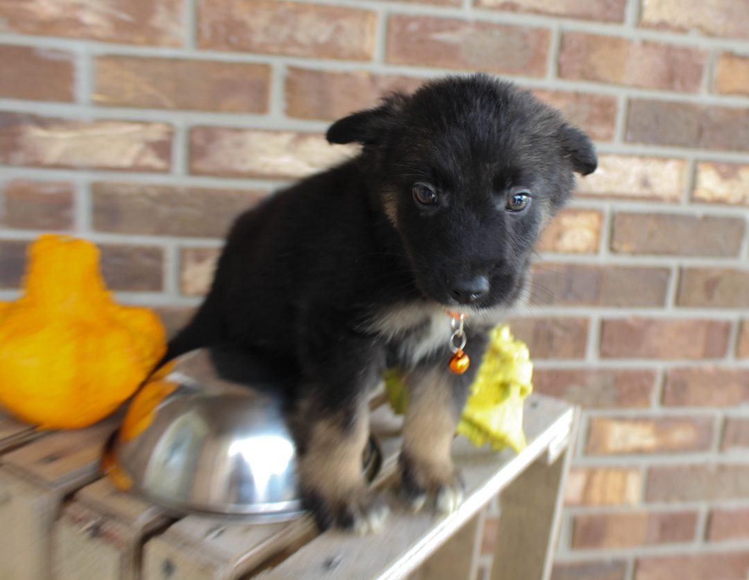 Dalton - German Shepherd male puppie for sale in Grabill, Indiana