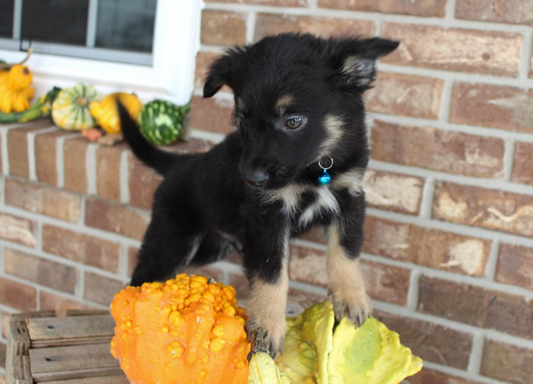 Diamond - doggie German Shepherd male for sale at Grabill, Indiana
