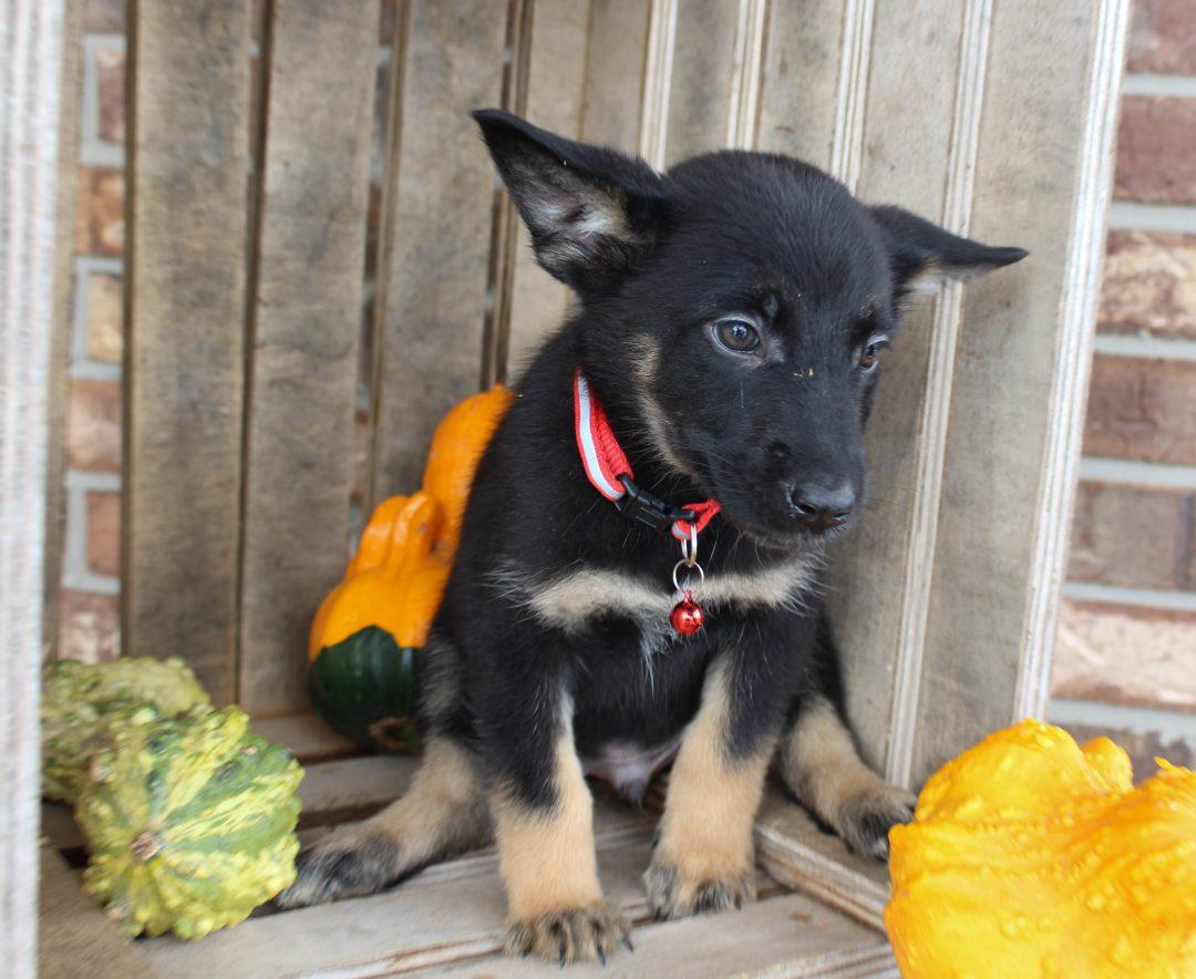 Donny - German Shepherd male puppy for sale near Grabill, Indiana