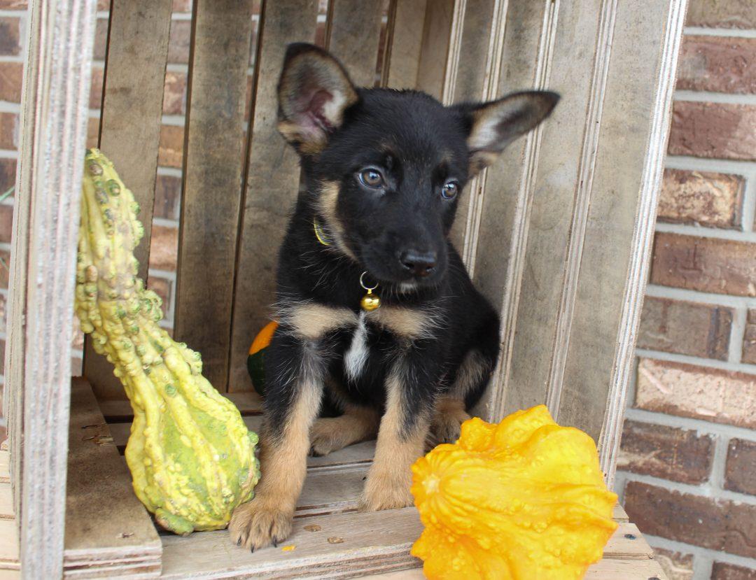 Dancer - German Shepherd male pup for sale in Grabill, Indiana