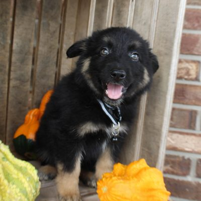 Dayton - German Shepherd male pupper for sale at Grabill, Indiana