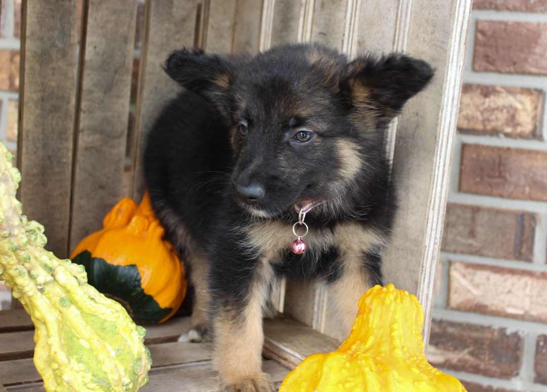 Dixie - German Shepherd male puppie for sale near Grabill, Indiana