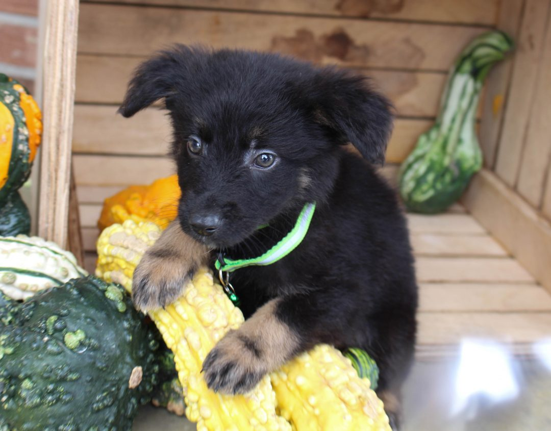 Dazzel - male German Shepherd doggie for sale near Grabill, Indiana