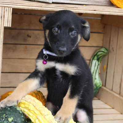 Dolly - German Shepherd female puppy for sale in Grabill, Indiana