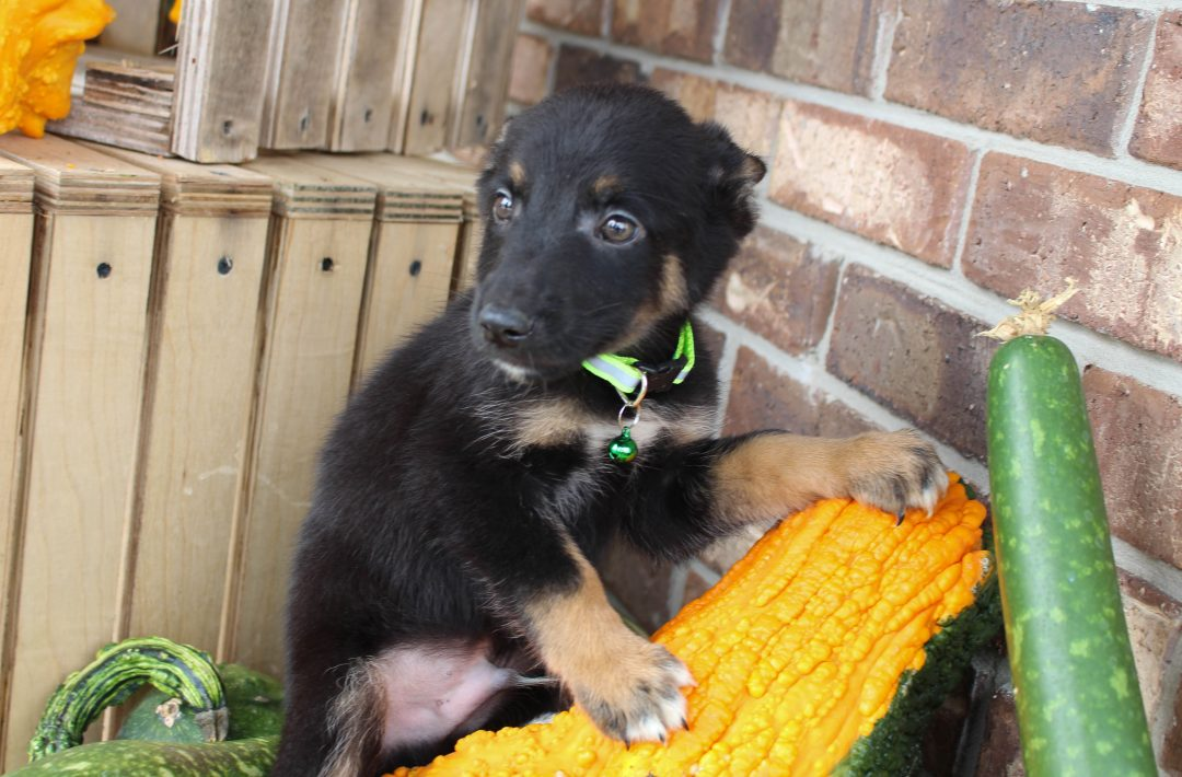 Denny - German Shepherd male pup for sale at Grabill, Indiana