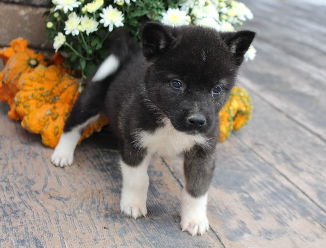 Duke - AKC Akita male puppy for sale in New Haven, Indiana