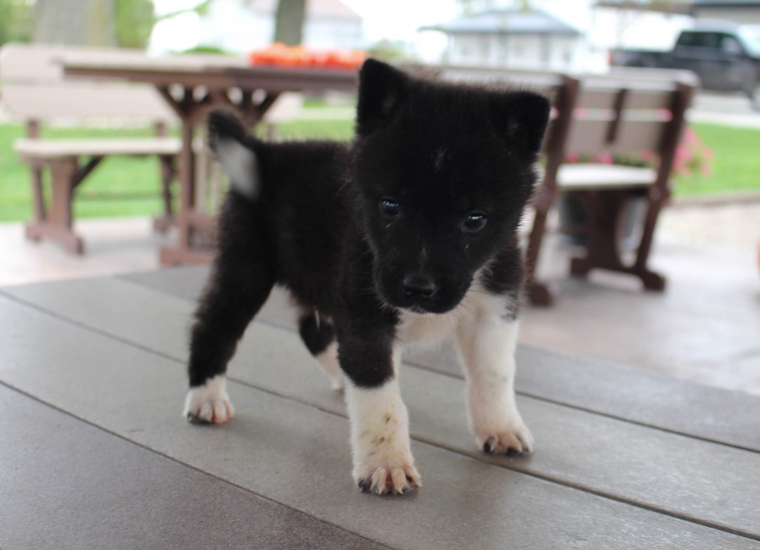 Laney - AKC Akita male pup for sale at New Haven, Indiana