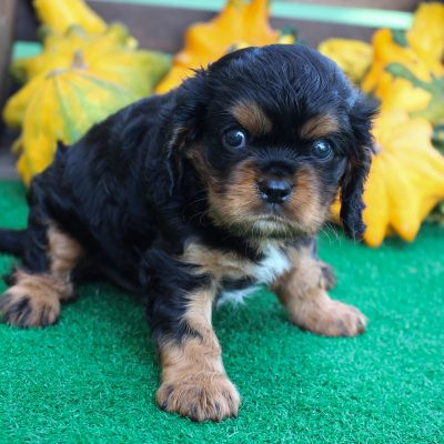 Azar - male AKC Cavalier King Charles Spaniel pup for sale at New Haven, Indiana
