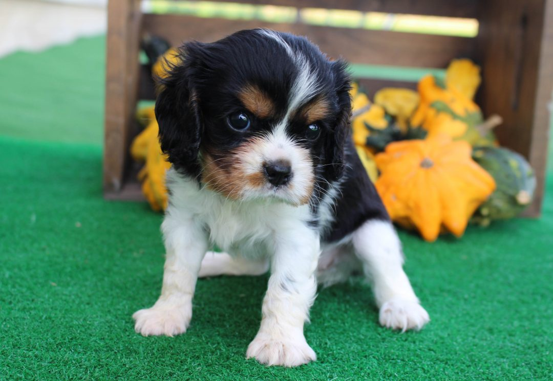 Angel - AKC Cavalier King Charles Spaniel pupper for sale near New Haven, Indiana