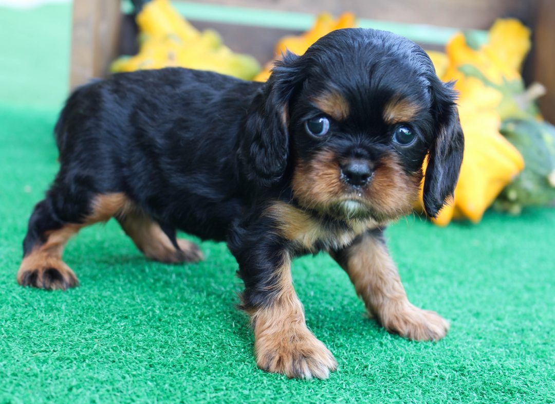 Alex - AKC Cavalier King Charles Spaniel puppie for sale in New Haven, Indiana