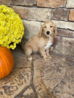 Dixie - Labradoodle female puppy for sale near Woodburn, Indiana