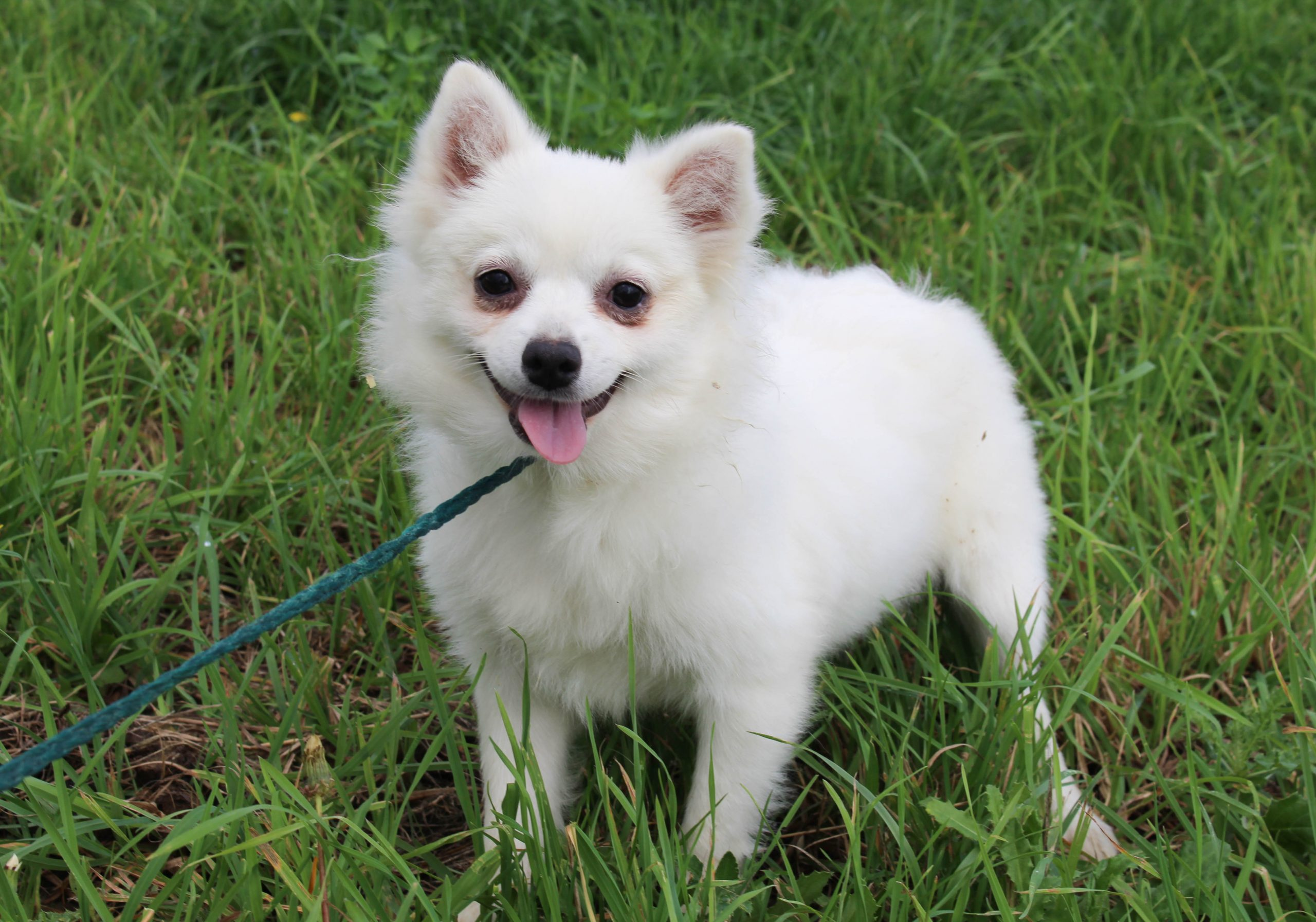 Elsy - AKC American Eskimo female puppy for sale in Spencerville, Indiana