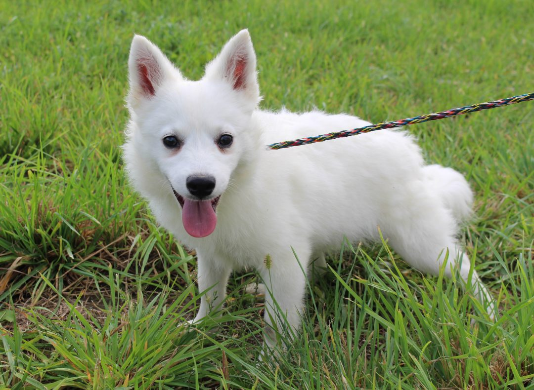 Elmer - pup AKC American Eskimo male for sale at Spencerville, Indiana