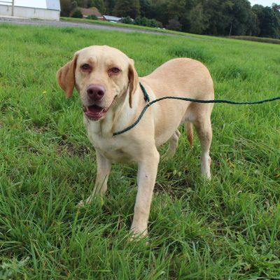 Allie - AKC Labrador Retriever female puppie for sale at Spencerville, Indiana