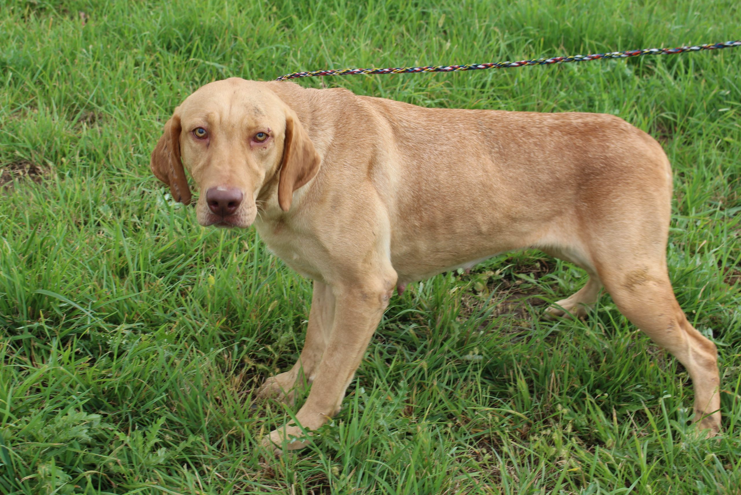 Queenie - AKC Labrador Retriever female doggie for sale near Spencerville, Indiana