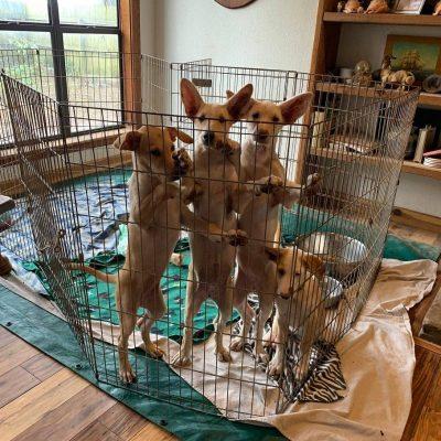Puppies AKC Portuguese Podengo Grande for sale