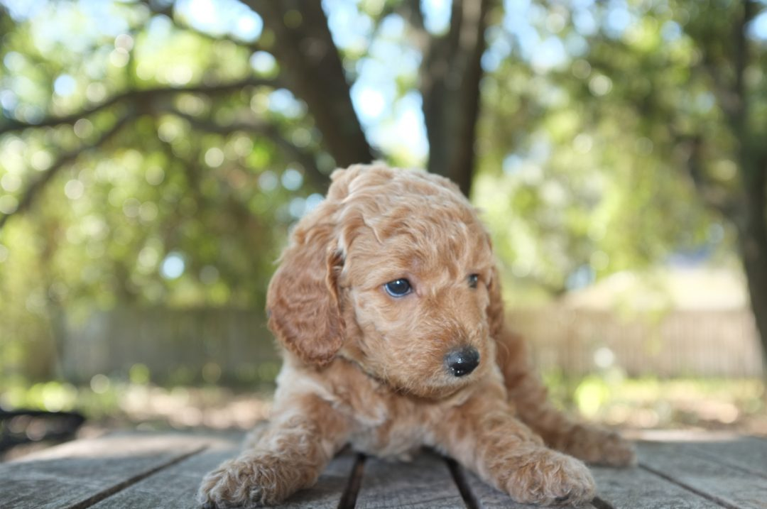 Aurora - F1b Goldendoodle pup for sale in Heath, Texas