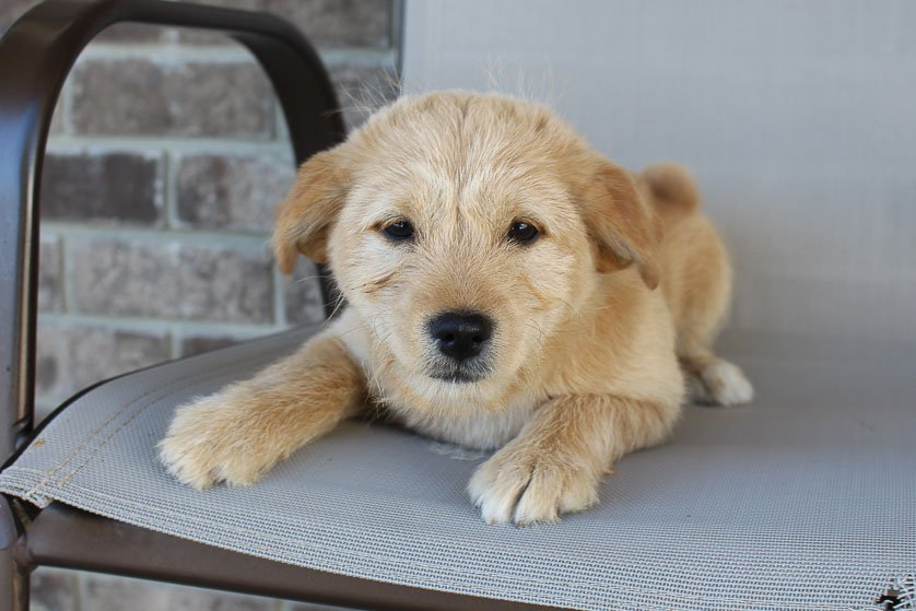 Tonya - Poodle-Shiba Inu mix female puppy for sale at New Haven, Indiana