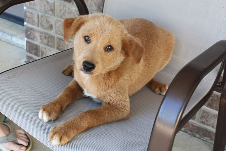 Tommy - Poodle-Shiba Inu mix male pup for sale near New Haven, Indiana