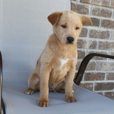 Tucker - pupper Poodle-Shiba Inu mix male for sale in New Haven, Indiana