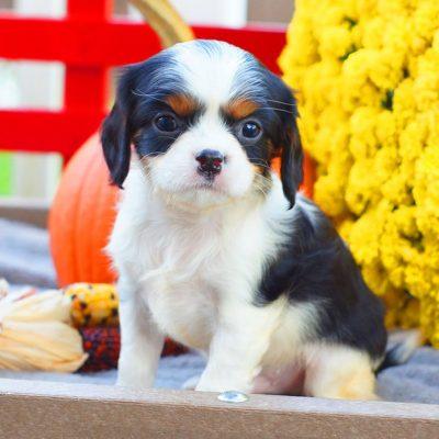 Alex - ACA Cavalier King Charles Spaniel puppy for sale in Mifflinburg, Pennsylvania