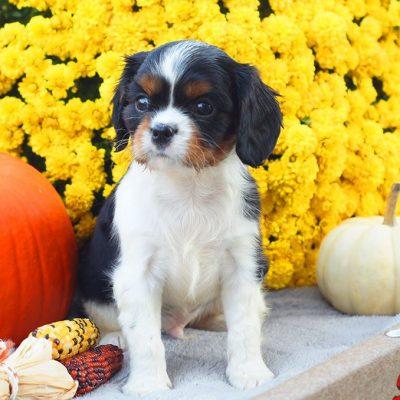 Albert - male ACA Cavalier King Charles Spaniel pup for sale at Mifflinburg, Pennsylvania