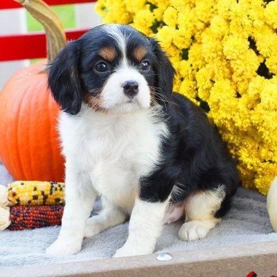 Abner - ACA Cavalier King Charles Spaniel male puppie for sale in Mifflinburg, Pennsylvania