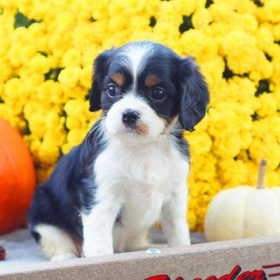 Autum - ACA Cavalier King Charles Spaniel female puppy for sale near Mifflinburg, Pennsylvania