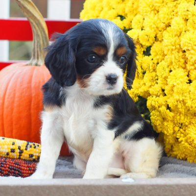 Aster - ACA Cavalier King Charles Spaniel female doggie for sale at Mifflinburg, Pennsylvania