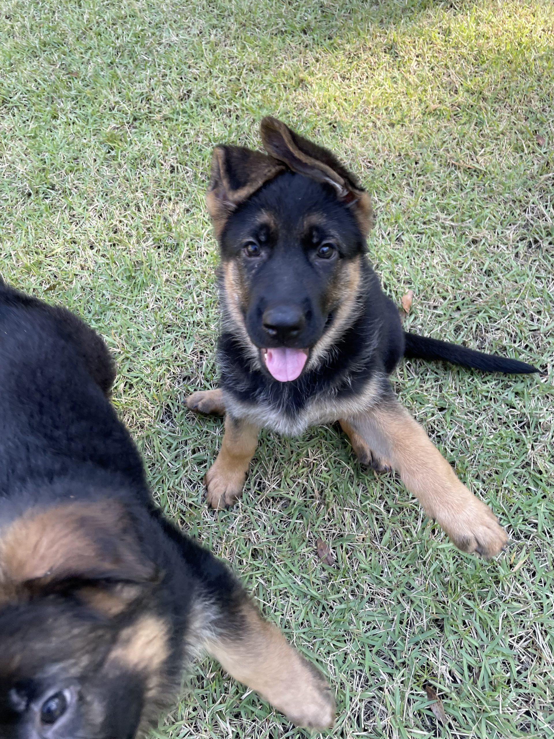 Rosie - German Shepherd female pup for sale at Charleston, South Carolina