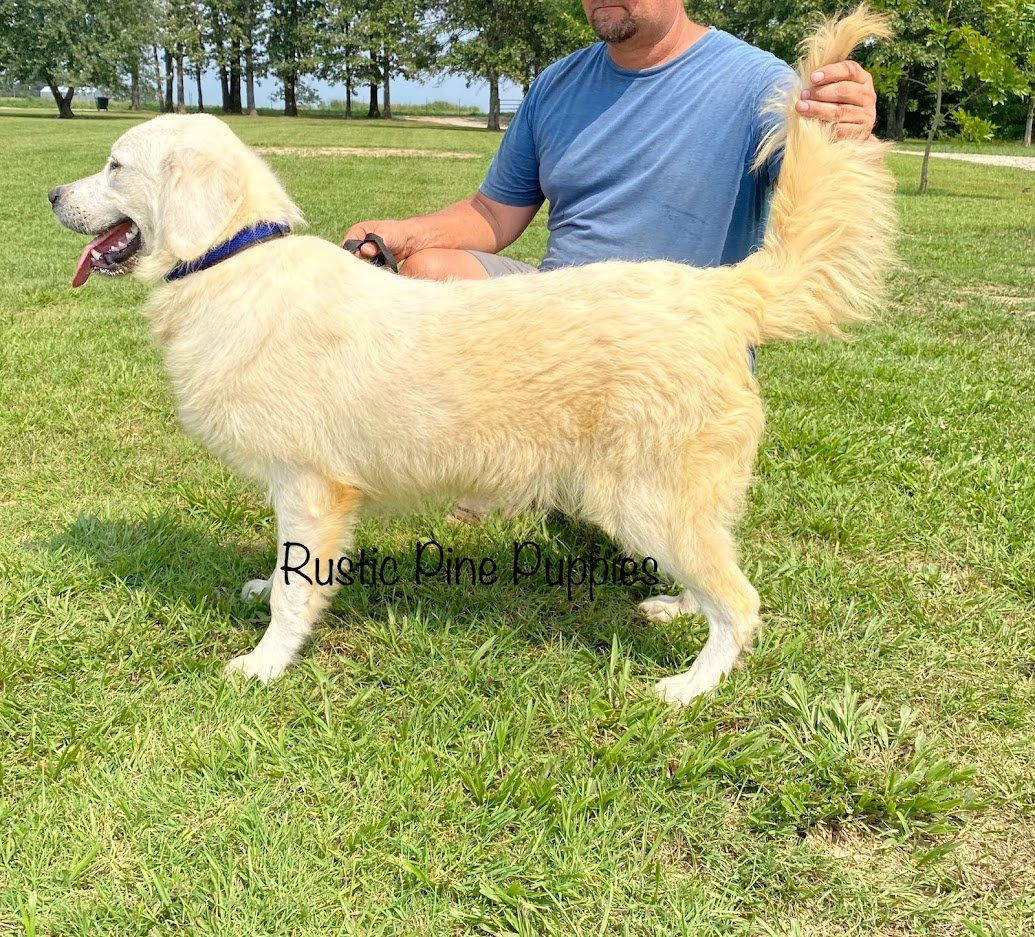 Harley - AKC English Cream Golden Retriever male puppie for sale near West Plains, Missouri