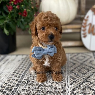 Reserved - male APRI Toy Poodle puppy for sale near West Plains, Missouri
