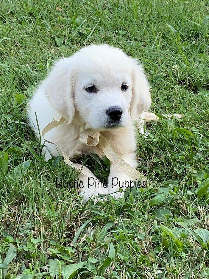 Honey - AKC English Cream Golden Retriever female doggie for sale in West Plains